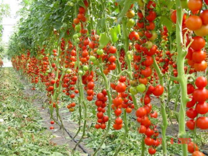 Как сделать чтобы было много помидоров на кусту