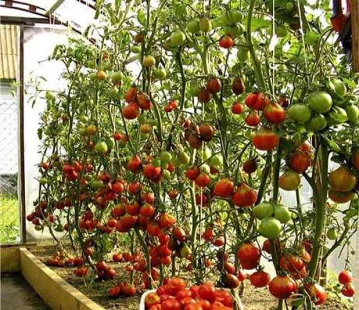 Как обрывать помидоры в теплице для хорошего урожая