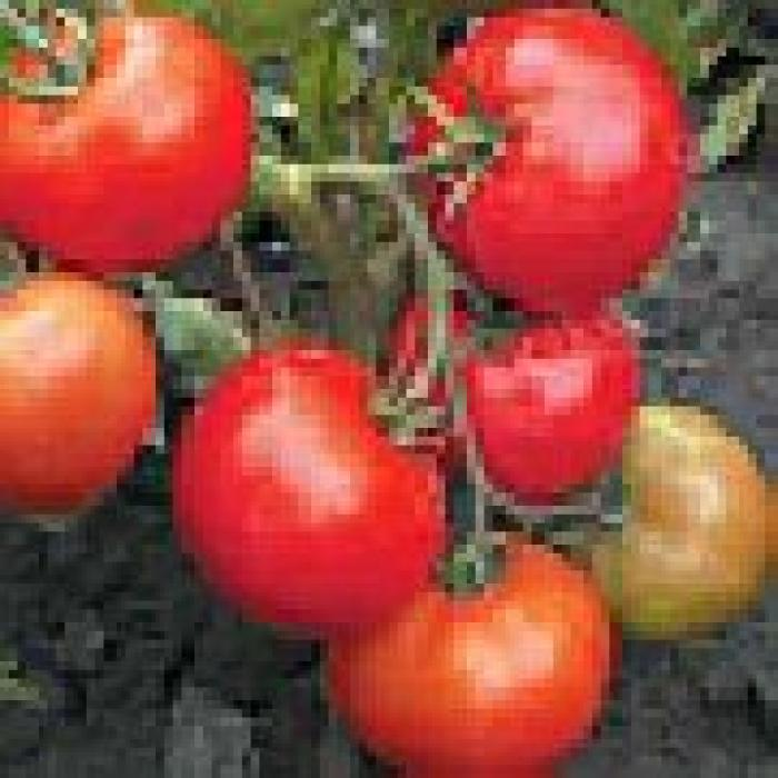 помидоры сервер отзывы