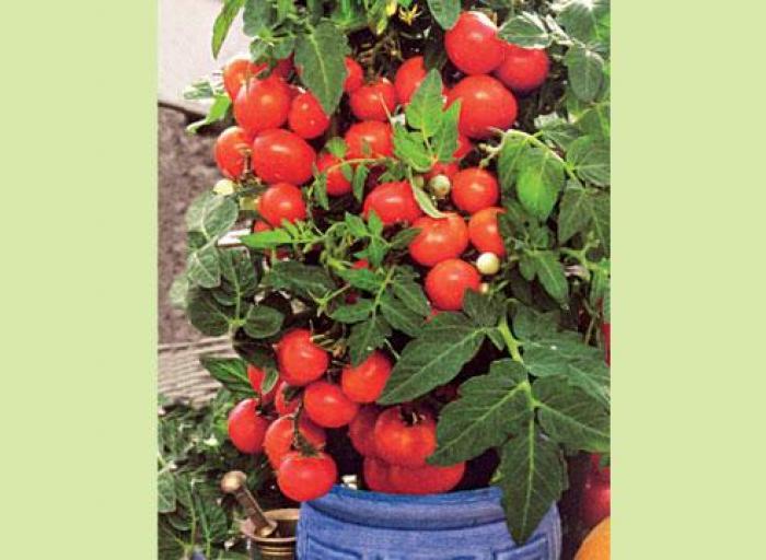 помидоры при высоком холестерине